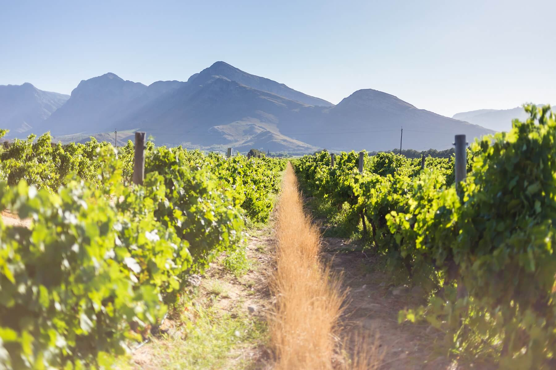 Most Popular South African Grape Varieties and Styles To Keep An Eye Out For.
