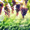 The 5 Most Underrated Grape Types